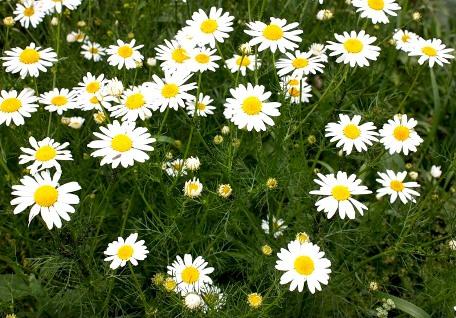 Ромашка аптечная – цветок, дарящий здоровье и красоту